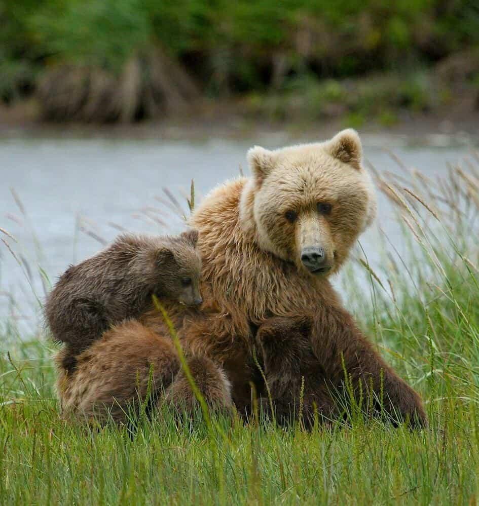 National Parks in Alaska - Lake Clark Bears