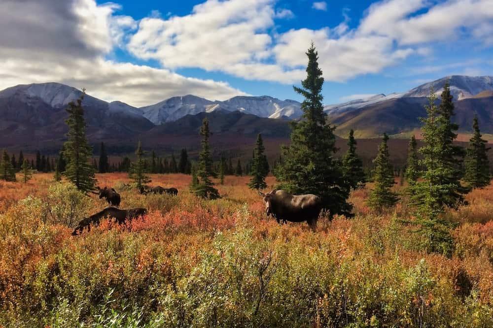 Alaskan Moose in Denali