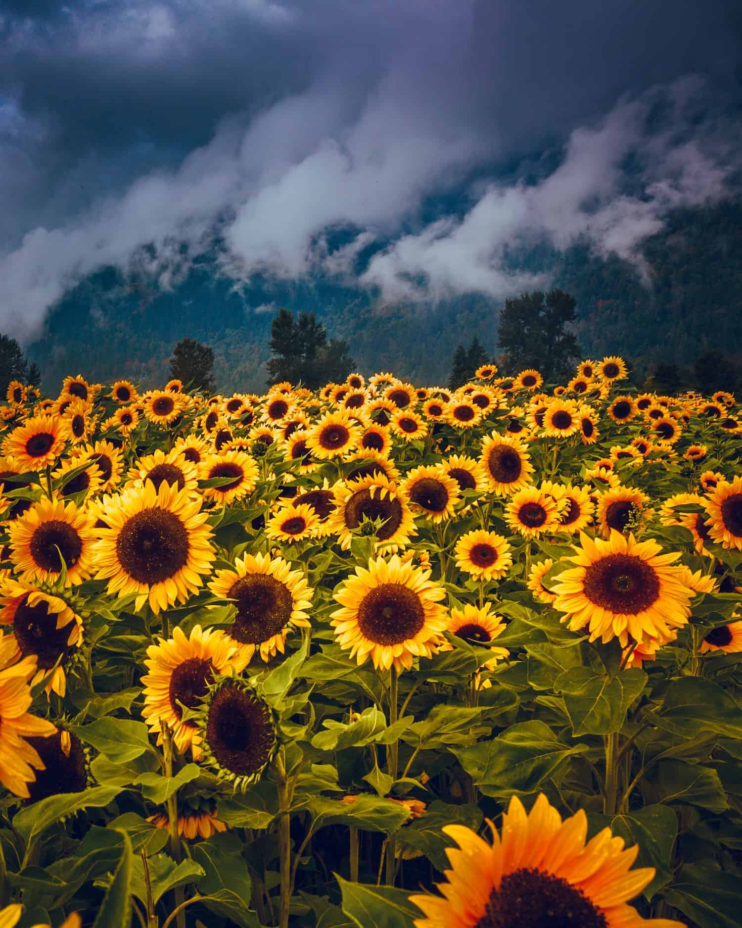 Sunflowers with a cloudy background