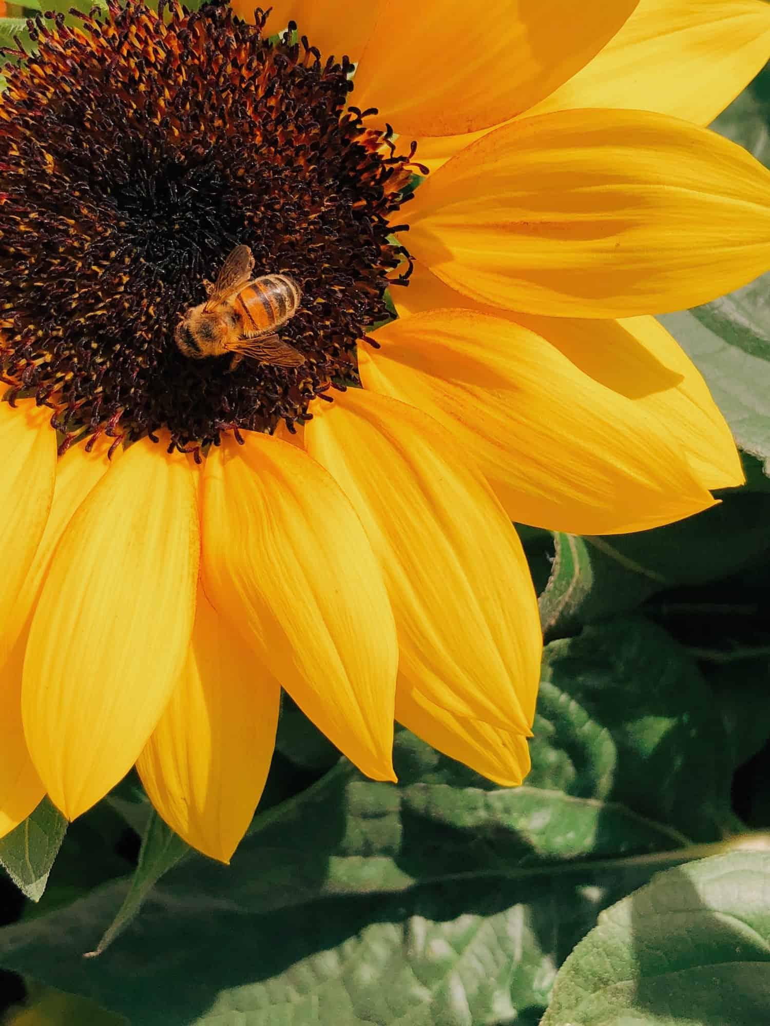 A bee inside a California Sunflower