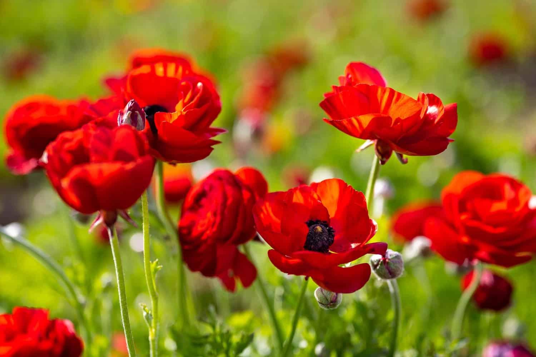 Flower Fields in California - Red Buttercups at Carlsbad Flower Fields