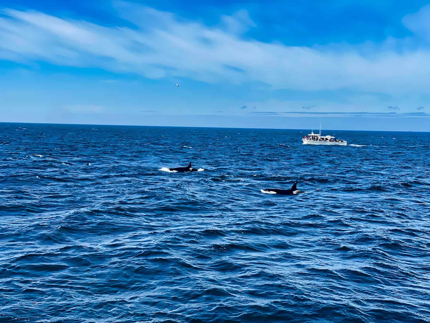 Orcas while Whale Watching in Monterey