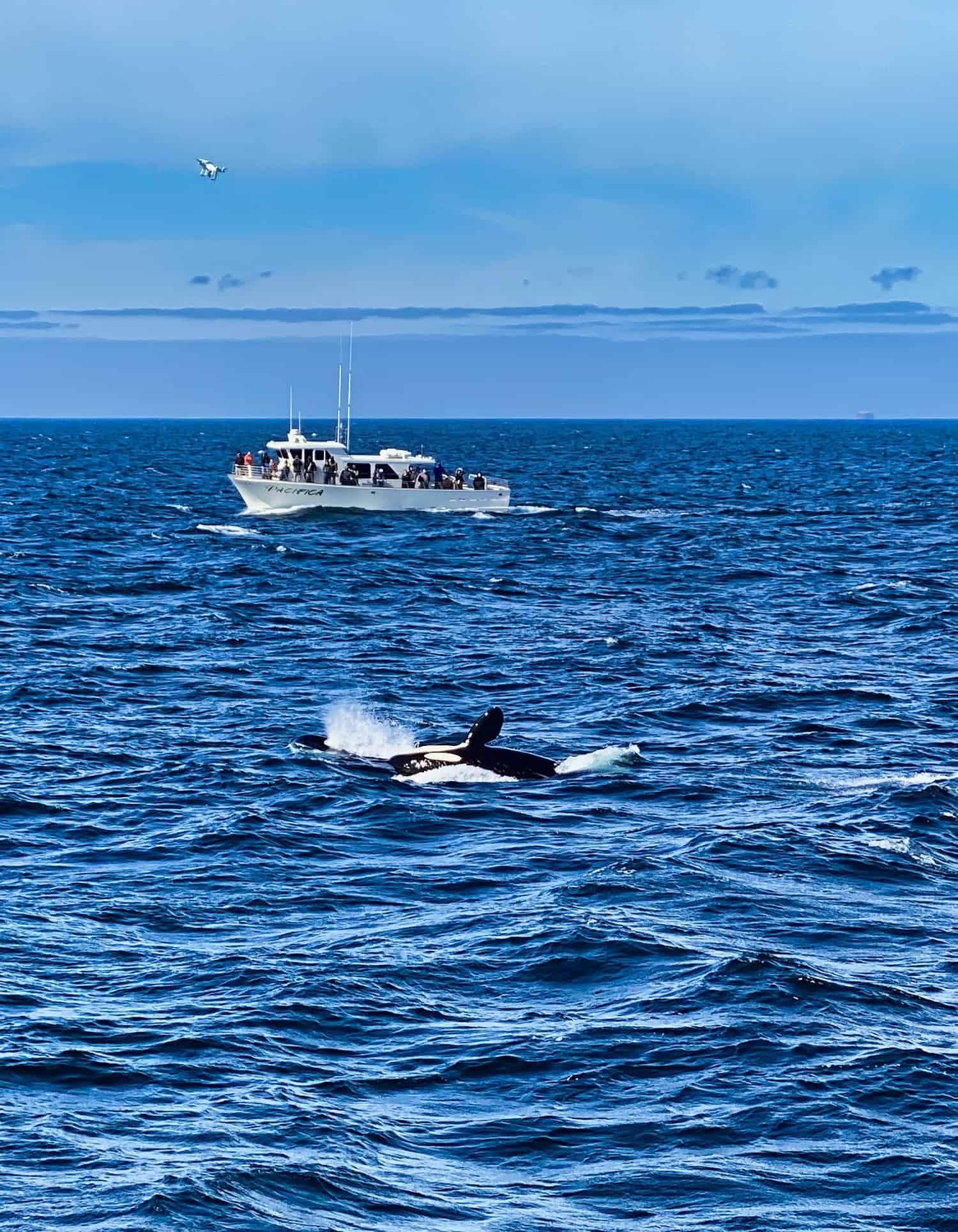 An Orca Breaches in Monterey Bay