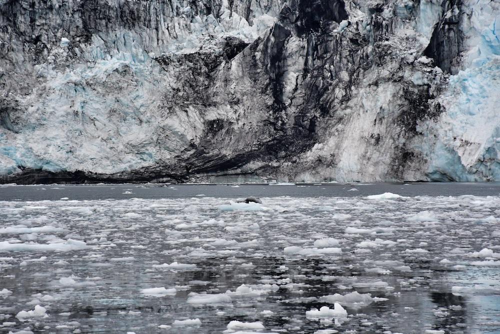 26 Glacier Cruises Review - Wildlife - Harbor Seal