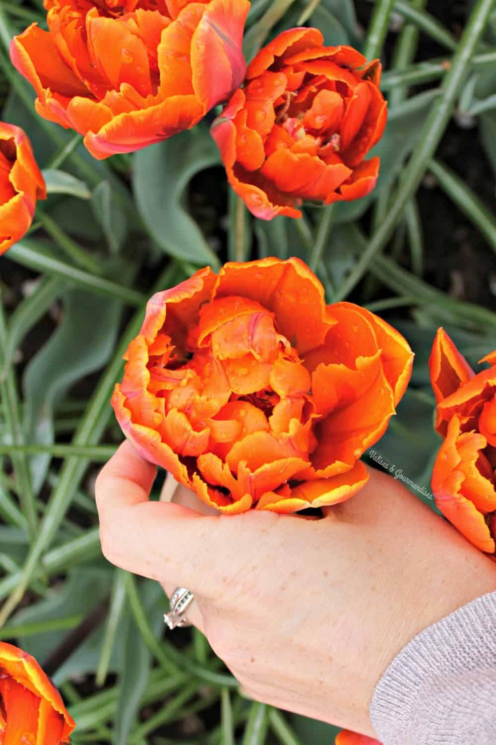 Tulip season at Keukenhof, Netherlands