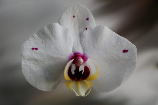 orchidea-genitali-donna-masturbazione