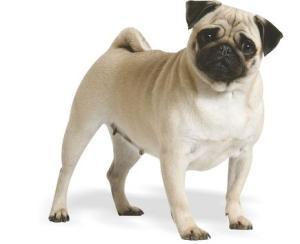 normal pug