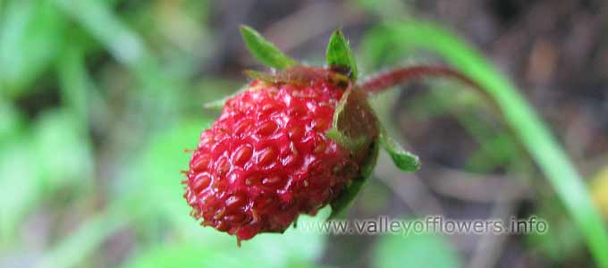Fragaria Nubicola in Valley of Flowers