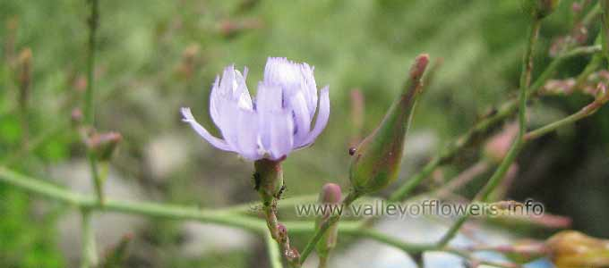 Lactuca Dolichophylla in Valley of Flowers