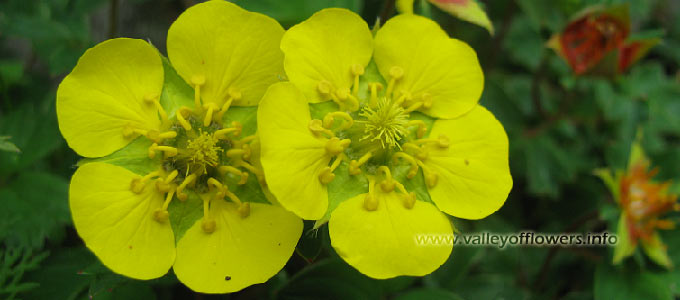 Potentilla cuneifolia, Vajardanti in Valley of flowers