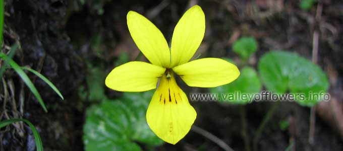 Viola biflora in Valley of Flowers