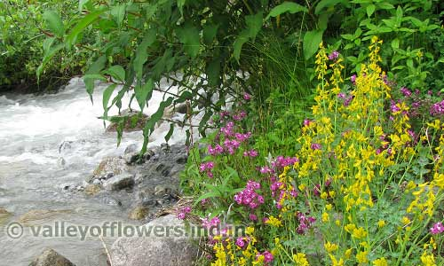 corydalis on the bank of a stream