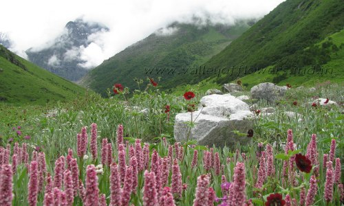 Bistorta Affinis in the Valley of Flowers