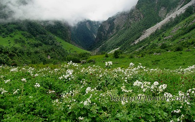 Valley of flowers picture Anemone Tetrasepla