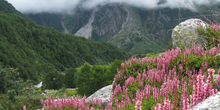 Valley of flowers piture gallery and wallpaper: Bistorta Affinis in Valley of flowers