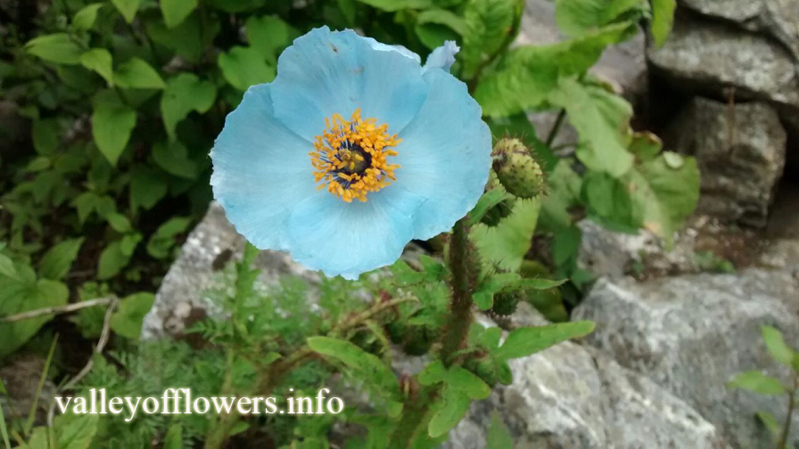 Blue Poppy In Valley of Flowers