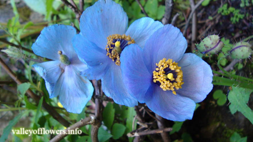 Blue Poppy's picture taken by our group on  13th July, 2015