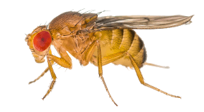 Fruit Fly Pest Control Services By Valley Pest Control