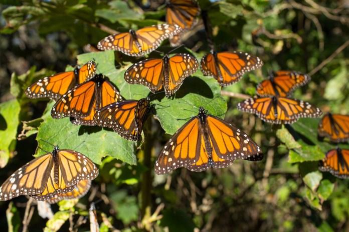 Mariposa monarca. México