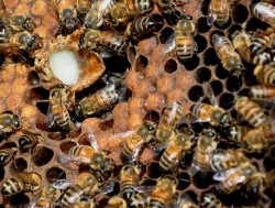 royal jelly in bee hive
