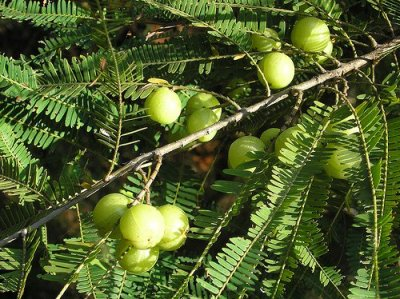 fruits of amla