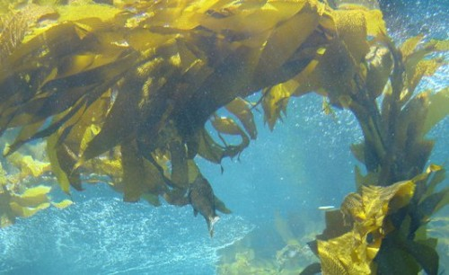 Kelp health benefits