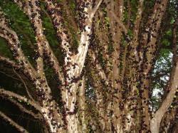 jabuticaba tree full of fruits