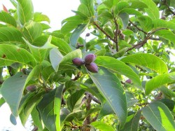 hirda fruits on tree
