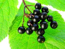 elderberries good for health