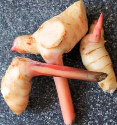 young galangal