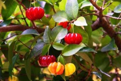 surinam cherry on tree