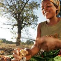 Benefits of this Africian Nut - Mongongo