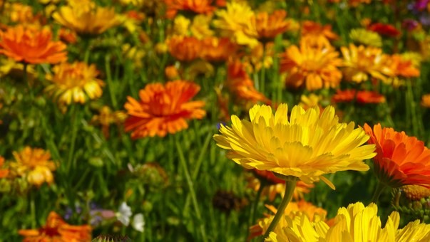 Marigolds, Sir Ralph De Assheton, The Black Knight Of Ashton