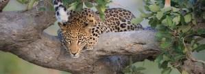 Afrika reizen luipaard