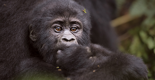 Rondreis Oeganda Oeganda – Bwindi Impenetrable Forest – gorillatrekking