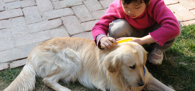 Asian child brushing yellow labrador retriever
