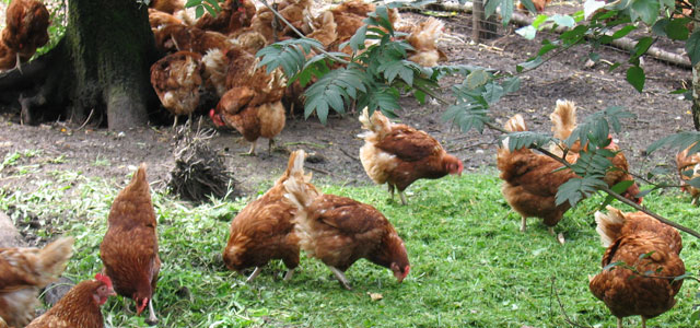 group of cage free chickens