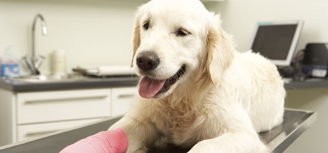 photo of white labrador retriever with injured paw. VHS achievements include helping sick and injured animals