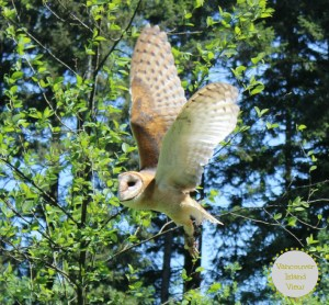 Besides being a fantastic place to take your kids while traveling to Vancouver Island, there is one very specific reason you should visit the Pacific Northwest Raptors Centre in Duncan