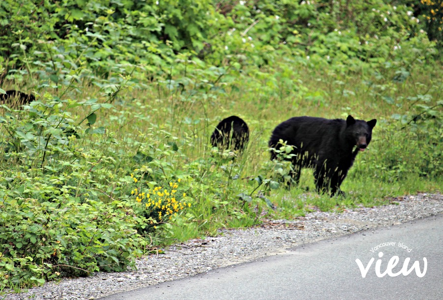 Bears can often be seen on the side of the Hwy while on route from Nanaimo to Tofino.