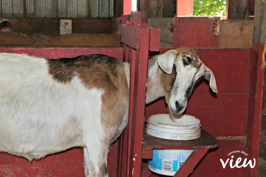 Tiger Lily Farm goat