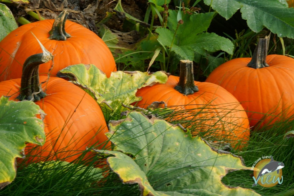 The pumpkin patch at Silver Meadow Farm - one of the many Vancouver Island Halloween Activities and Events to choose from this October.