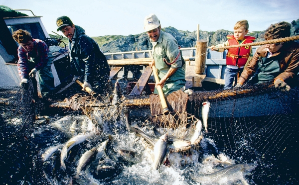 Fishermen pull a netful of cod into a small boat off Twillingate Island in Newfoundland. file photo.