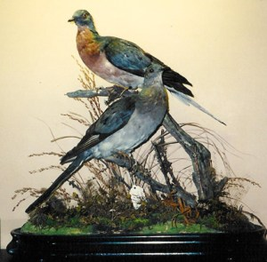 Nesting pair of Passenger Pigeons in the Vanderbilt Museum's natural-history gallery