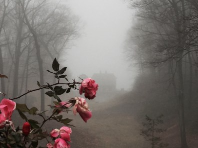 Roses in the Fog