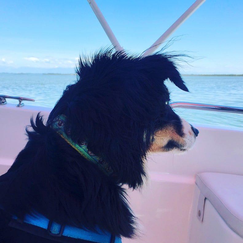 Ausflug mit Hund. Lagune von Venedig Cavallino Australian Shepherd Boot Motorboot