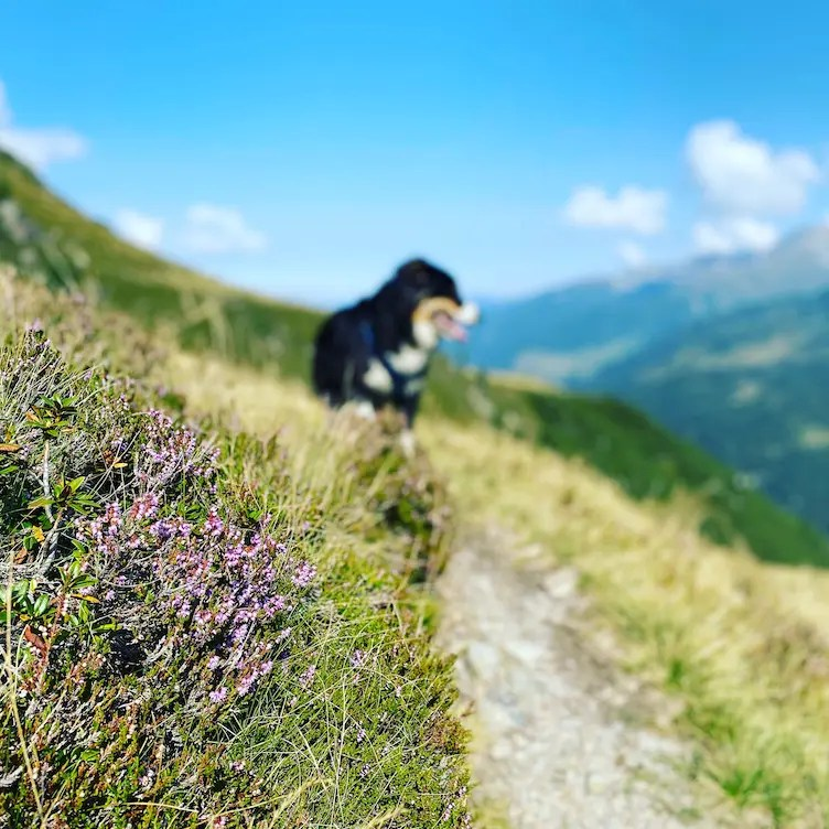 Wandern mit Hund Australian Shepherd Torhelm Kelchsau Langer Grund Tirol