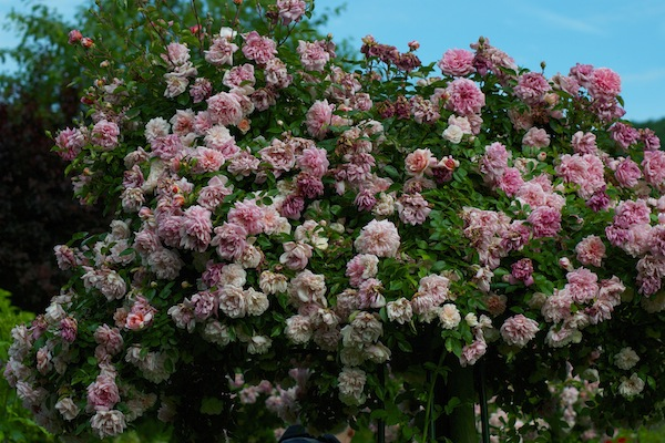 Monet's rose in full bloom