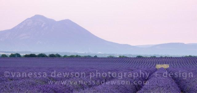 Lavender Dreams (Merit)