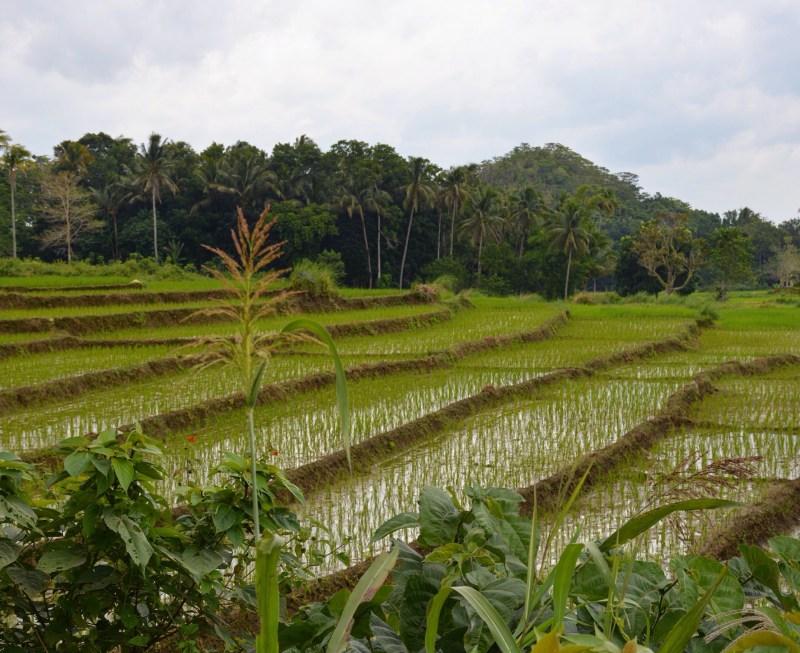 Les rizières ...